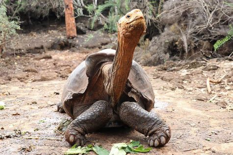 Diego the Tortoise: Savior of the Galapagos Giant Tortoise